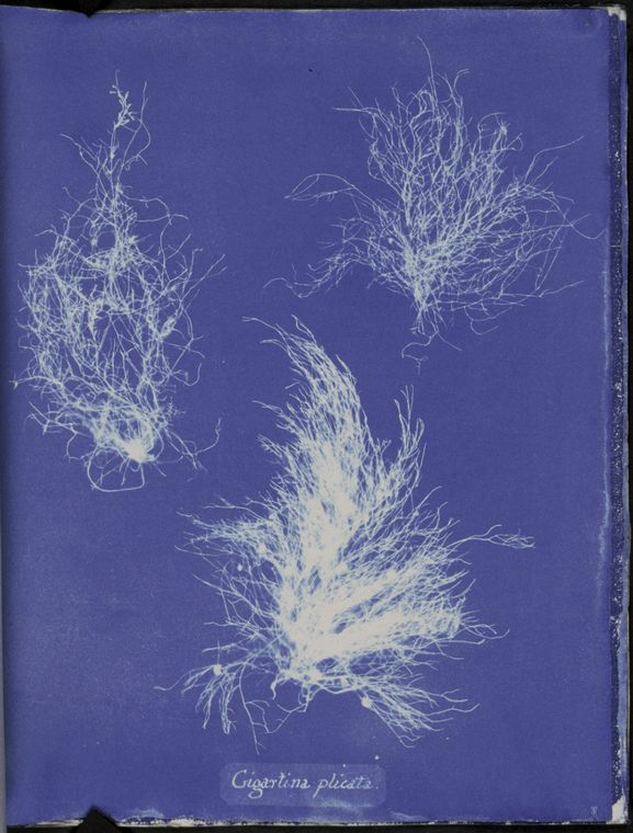 Botanical - Cyanotype - (15)