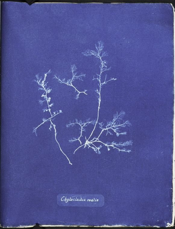 Botanical - Cyanotype - (17)
