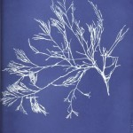 Botanical - Cyanotype - (23)