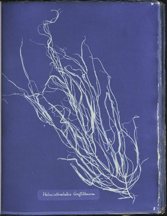 Botanical - Cyanotype - (8)