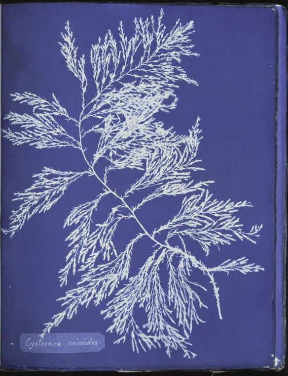 Botanical - Cyanotype - (9)
