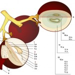 Botanical - Diagram - Wine grape