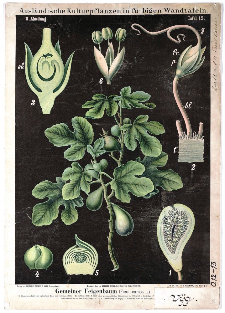 Botanical - Educational Plate - Black - Ficus carica