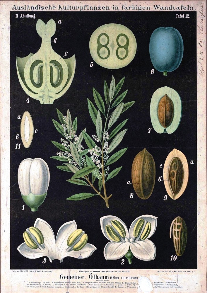 Botanical - Educational Plate - Black - Olea europaea L.