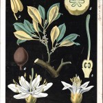 Botanical - Educational Plate - Black -Palaquium Gutta