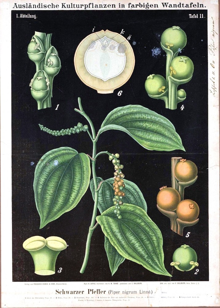 Botanical - Educational Plate - Black - Piper nigrum Linnä