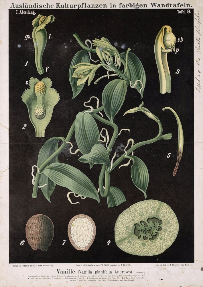 Botanical - Educational Plate - Black -  Vanilla planifolia Andrews
