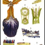 Botanical - Educational Plate - Iris