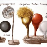 Botanical - Educational Plate - Mushroom - Myxomycetes
