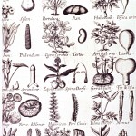 Botanical - Educational Plate - Plants of medicinal value to particular human body parts