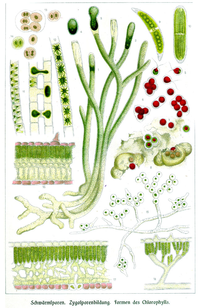 Botanical - Educational plate - Anatomy - Chlorophyl