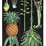 Botanical - Educational plate - Black - Pineapple