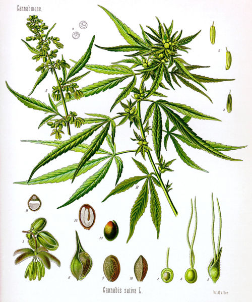 Botanical - Educational plate - Cannabis