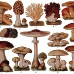 Botanical - Educational plate - Edible fungi