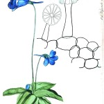 Botanical - Educational plate - Flower - Bluebell