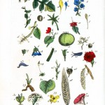 Botanical - Educational plate - French