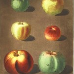 Botanical - Educational plate - Fruit - Apples 2