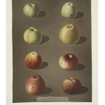 Botanical - Educational plate - Fruit - Apples with dark background