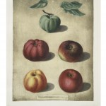 Botanical - Educational plate - Fruit - Donut apples