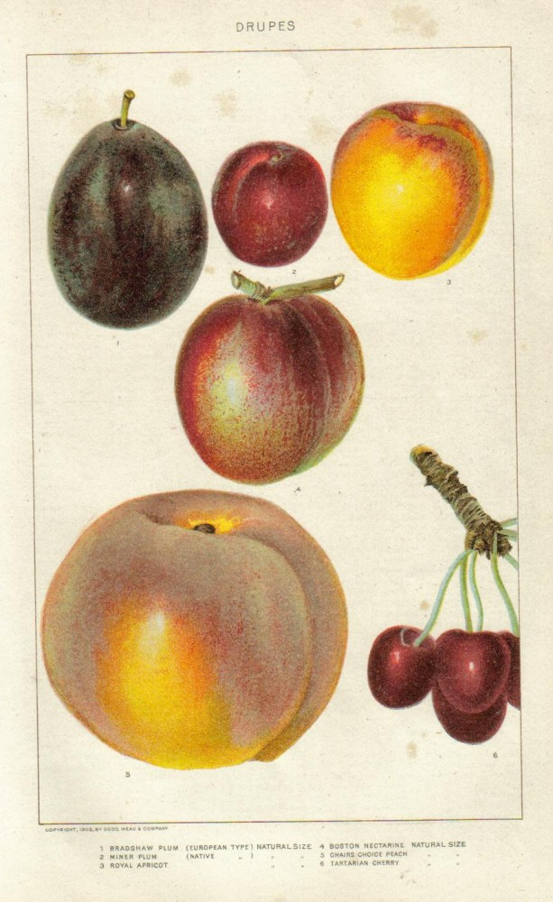 Botanical - Educational plate - Fruit - Drupes eductational plate (1902)
