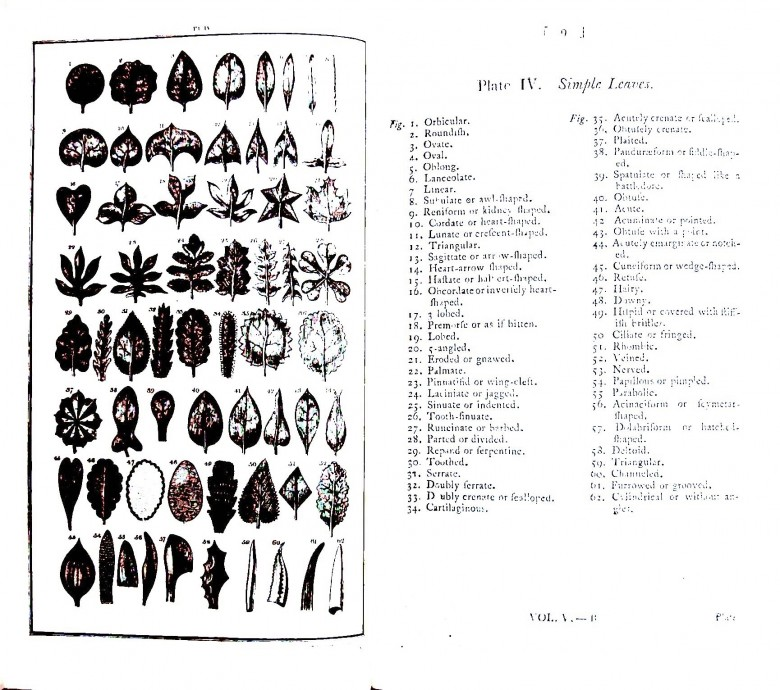 Botanical - Educational plate - Leaf shape