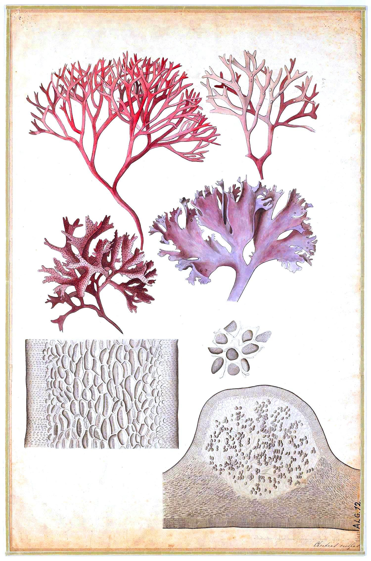 Displaying 17 gt images for seaweed scientific illustration