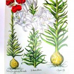 Botanical - Educational plate - Lilly anatomical plate