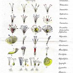 Botanical - Educational plate - Linneas system of plant reproduction