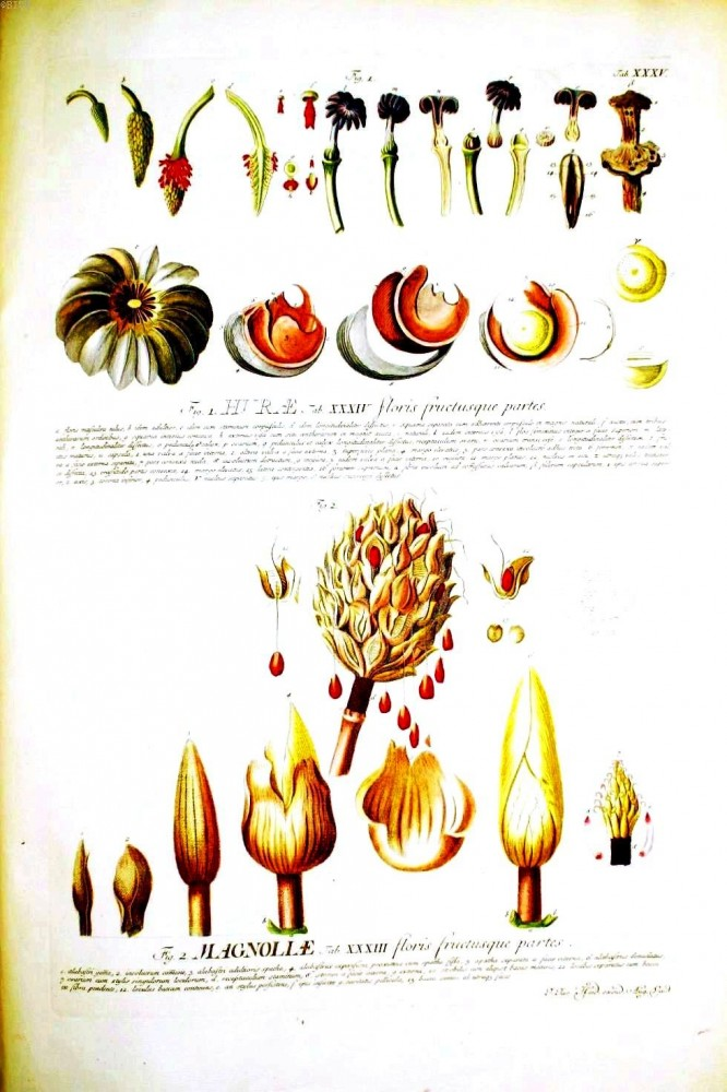 Botanical - Educational plate - Magnolia