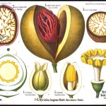 Botanical - Educational plate - Nutmeg