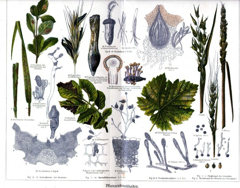 Botanical - Educational plate - Plant pathology