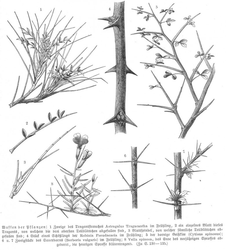 Botanical - Educational plate - Thorns