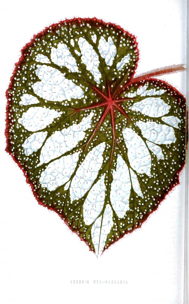 Botanical - Floral World and Garden Guide 1876 -  Begonia leaf