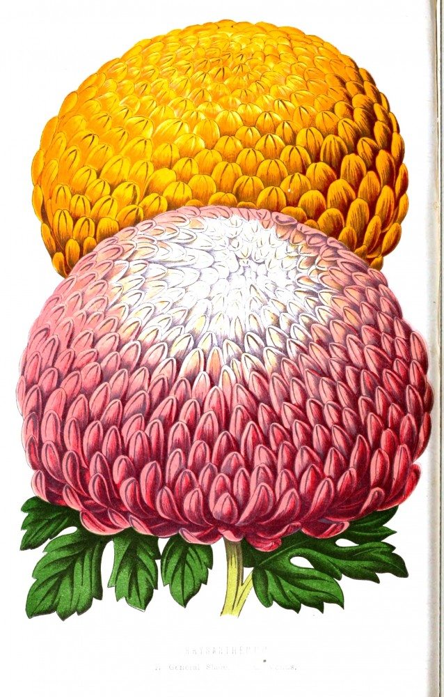 Botanical - Floral World and Garden Guide 1876 -  Chrysanthemum