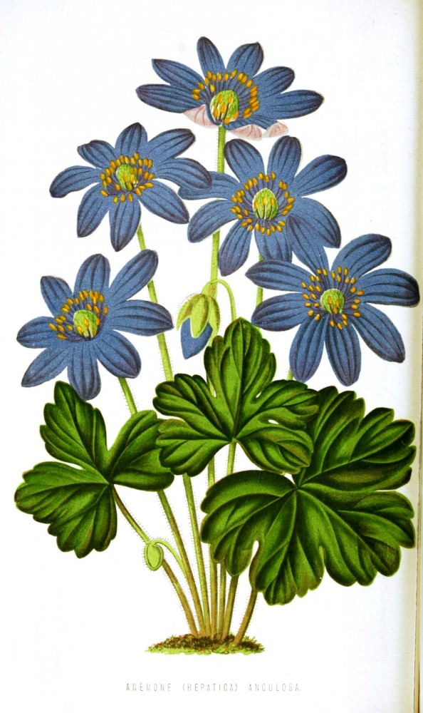 Botanical - Floral World and Garden Guide 1878 -  Anemone