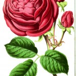 Botanical - Floral World and Garden Guide - Tea Rose