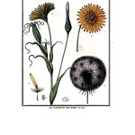 Botanical - Flower - Anatomy - Salsifrix