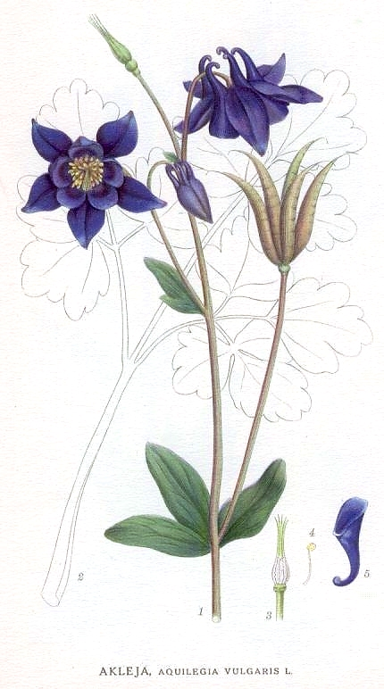 Botanical - Flower - Aquilegia vulgaris