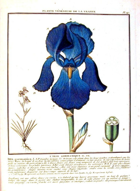 Botanical - Flower - Blue iris