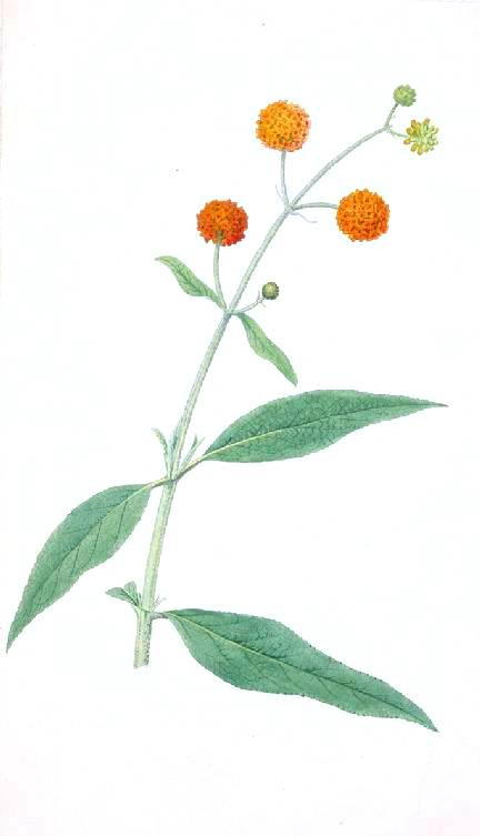 Botanical - Flower - Budleja Capitata