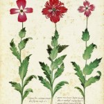 Botanical - Flower - Carnation - Italian (14)