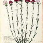 Botanical - Flower - Carnation - Italian (18)