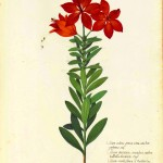 Botanical - Flower - Carnation - Italian (2)