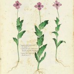 Botanical - Flower - Carnation - Italian (5)