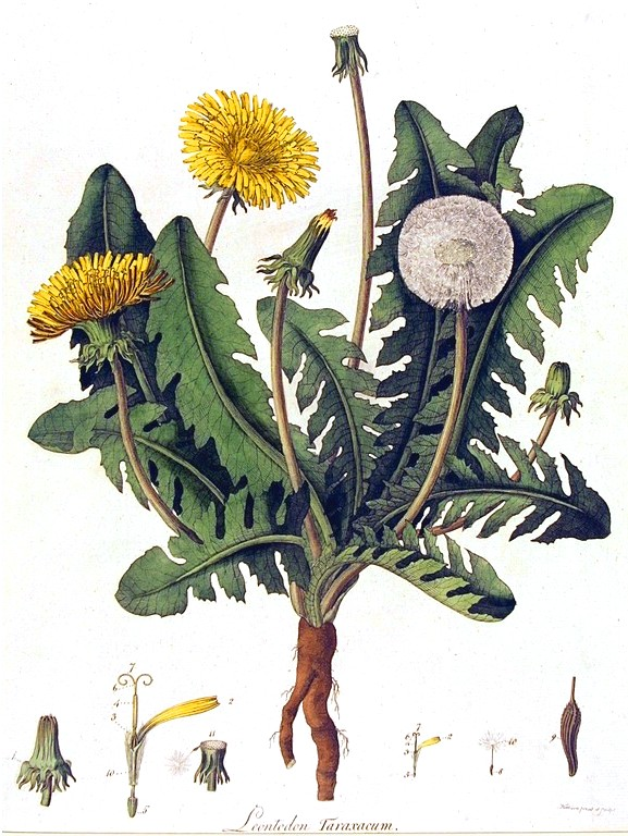 Botanical - Flower - Dandelion - engraving