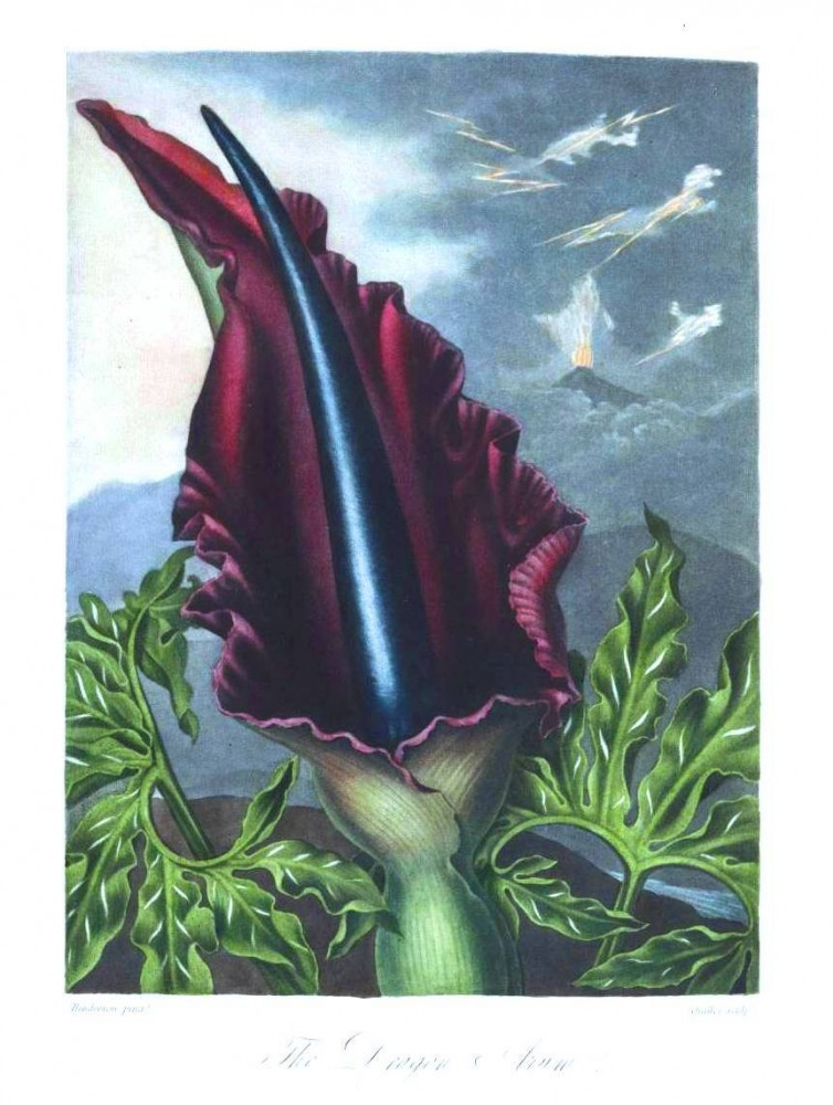 Botanical - Flower - Dragon Arum