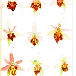 Botanical - Flower - Educational plate - Orchid