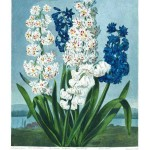 Botanical - Flower - Hyacinth - A group of hyacinths
