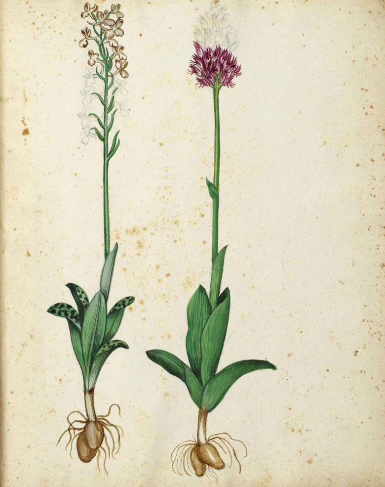 Botanical - Flower - Hyacinth - Italian