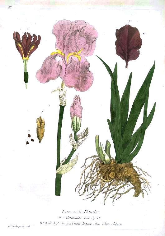 Botanical - Flower -  Iris - Anatomy